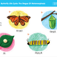Butterfly Life Cycle: The Stages Of Metamorphosis